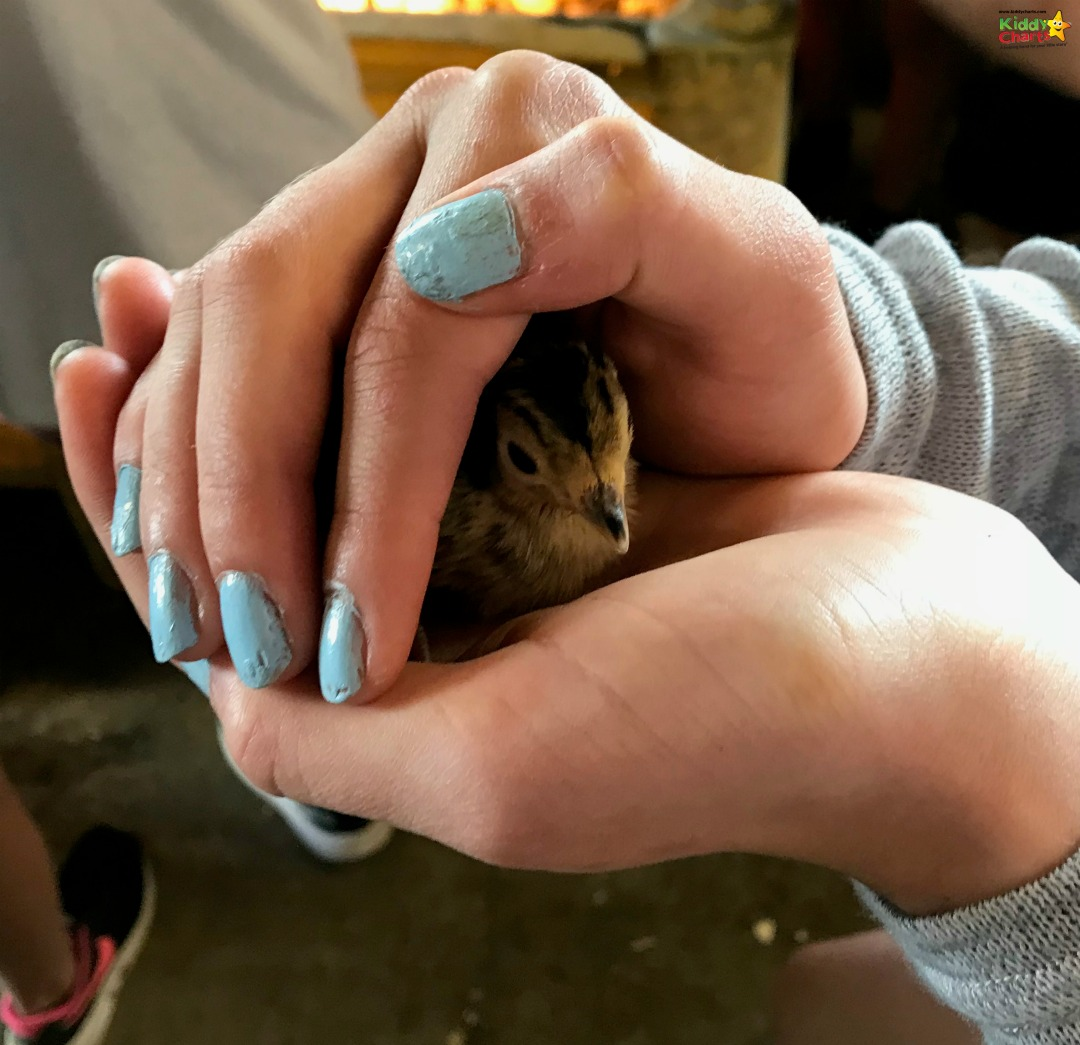 You get to hold pheasant chicks - as we found at our Featherdown review; so much fun, so check it out! #glamping #uktravel #kids #travel
