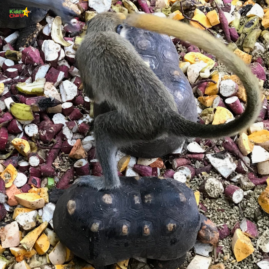 Visit the Barbados Wildlife Centre when you are in Barbados with kids and see the surfing monkeys! #kids #barbados #caribbean #monkeys