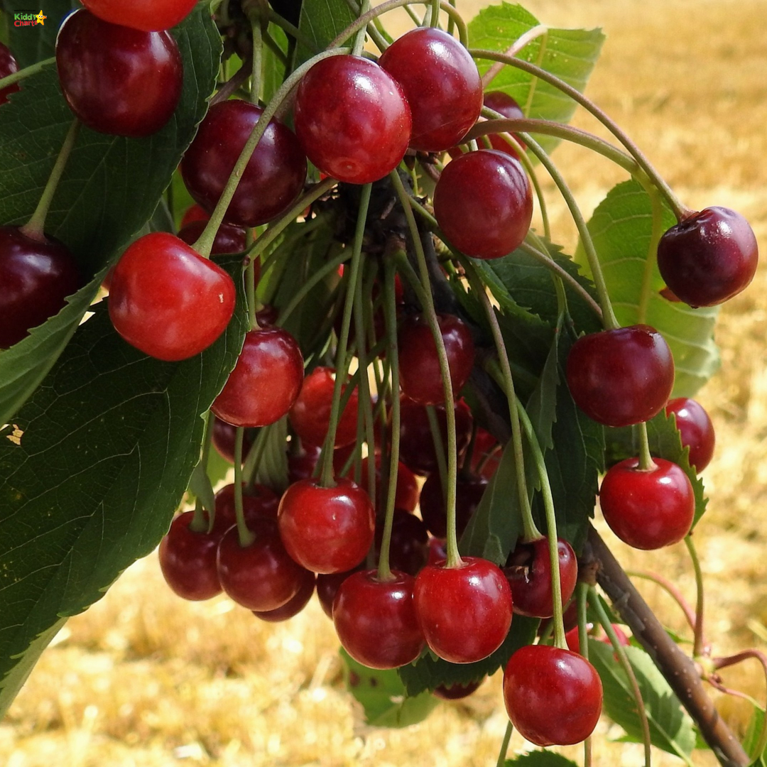 Why not check out our wild cherry pie recipe? #foraging #recipes #nature