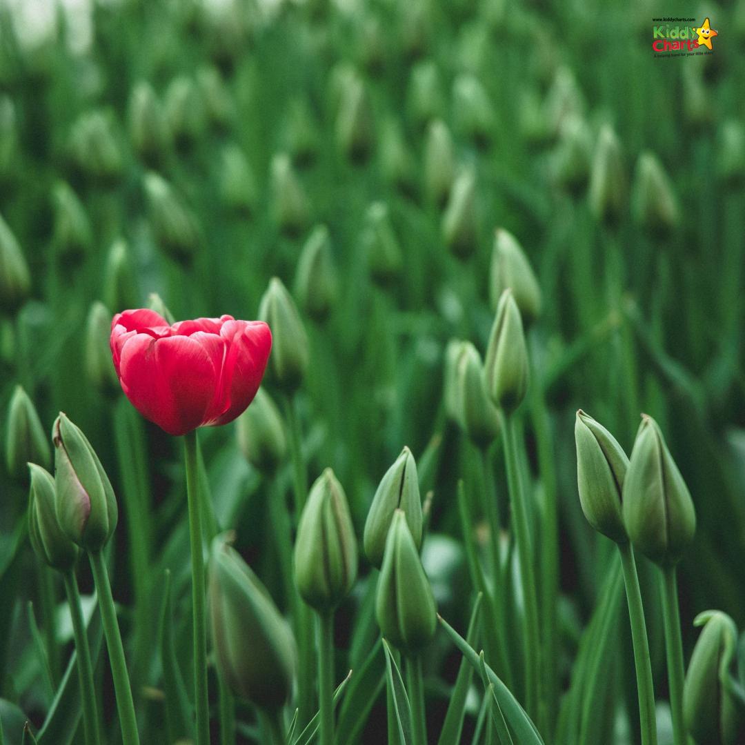Budding red flower in green field.