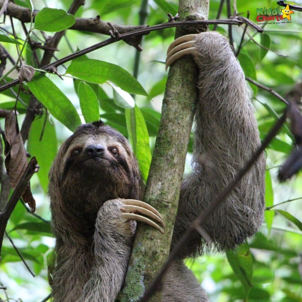 Sloth coloring and activity Sloth Day!