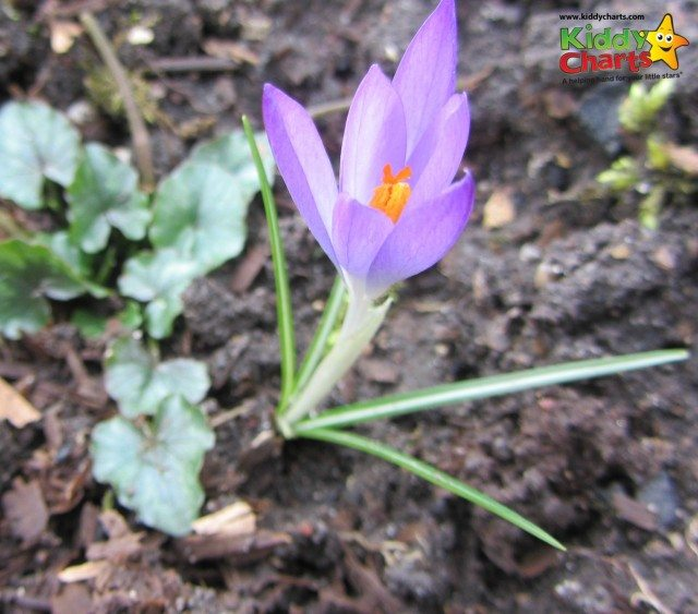 Crocus are also blooming beautifully at the Garden of Great Easton Lodge