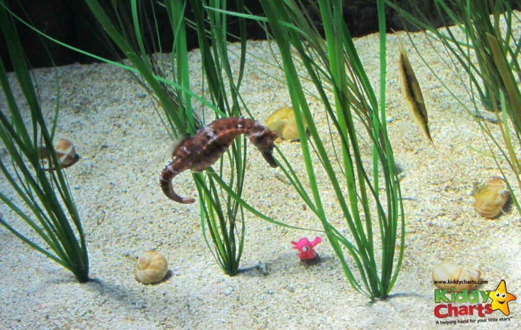 London Aquarium: Confused seahorse