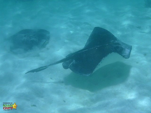 Moving away from the main area is worth it for the Southern Stingrays swimming gracefully.